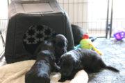 FlatcoatedRetriever-NestYuna2020-Week5-Pups4