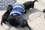FlatcoatedRetriever-NestYuna2020-Week5-Pups8