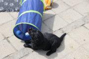 FlatcoatedRetriever-NestYuna2020-Week5-Pups9