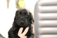 FlatcoatedRetriever-NestYuna2020-Week6-Pup-Geel03
