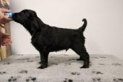 FlatcoatedRetriever-NestYuna2020-Week6-Pup-Groen01