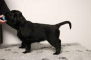 FlatcoatedRetriever-NestYuna2020-Week6-Pup-Paars01