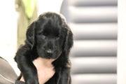 FlatcoatedRetriever-NestYuna2020-Week6-Pup-Paars03
