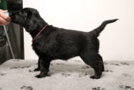FlatcoatedRetriever-NestYuna2020-Week6-Pup-Roos02