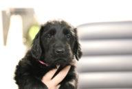 FlatcoatedRetriever-NestYuna2020-Week6-Pup-Roos03