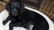 FlatcoatedRetriever-Pup