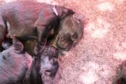 FlatcoatedRetriever-Yuna-PuppysWeek1-100420