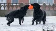 FlatcoatedRetriever18-KayroPlaying