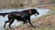 FlatcoatedRetriever18-LimitTraining2