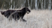 FlatcoatedRetriever18-LimitTraining3