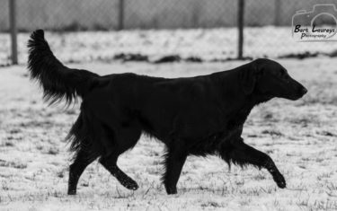 FlatcoatedRetriever18-YunaBeautiful