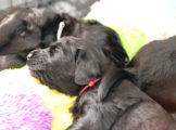FlatcoatedRetriever_Nest-Week4_Puppy