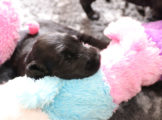 FlatcoatedRetriever_Nest-Week4_Pups
