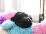 FlatcoatedRetriever_Nest-Week4_Yuna_Pups
