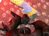 FlatcoatedRetriever_NestWeek3-2021-Pups