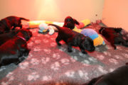 FlatcoatedRetriever_NestWeek3-Puppys2021