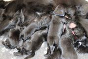 FlatcoatedRetriever_NestWeek3_puppys