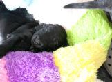 FlatcoatedRetriever_NestWeek4_Puppie