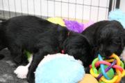 FlatcoatedRetriever_Nest_Pups_Week5