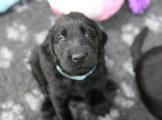 FlatcoatedRetriever_Nest_Pups_Week5_2021