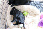 FlatcoatedRetriever_Nest_Week4_Puppys_Yuna