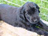 FlatcoatedRetriever_Nest_Week5-2021-Puppies