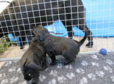 FlatcoatedRetriever_Nest_Week5_2021_NEQ-Pups