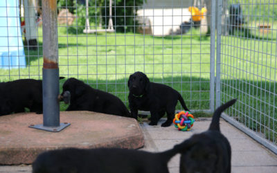 FlatcoatedRetriever_Nest_Week5_NEQ-2021-Pups