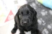FlatcoatedRetriever_Nest_Week5_Pups