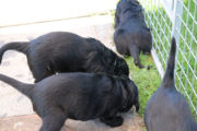 FlatcoatedRetriever_Nest_Week5_puppies