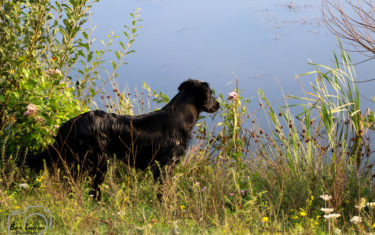 JachtFlatcoatedRetriever-NEVEREQ