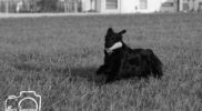 Kayro-FlatcoatedRetriever-Training