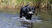 NEVERENDINGQUEST-FlatcoatedRetriever