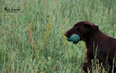 TrainingFlatcoatedRetriever