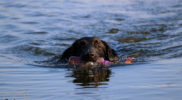 WaterFlatcoatedRetrieverJacht