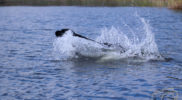WaterJachtFlatcoatedRetriever-NEQ