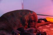 Flatcoated-Retriever-Week3-Pups