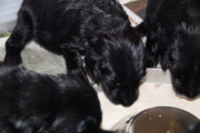NEQ-FlatcoatedRetriever-Pups