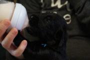 Week3-Pups-FlatcoatedRetriever