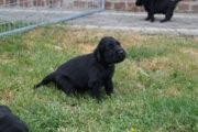 FlatcoatedRteriever-PupsWeek5-12