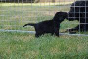 FlatcoatedRteriever-PupsWeek5-19