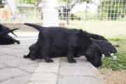 FlatcoatedRteriever-PupsWeek5-22