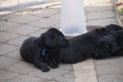 FlatcoatedRteriever-PupsWeek5-25