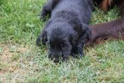 FlatcoatedRteriever-PupsWeek5-29