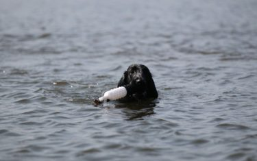 FlatcoatedRetriever-2018-Swim