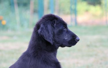 FlatcoatedRetriever-NEQ-2018-Dog