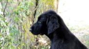 FlatcoatedRetriever-NEQ-2018-Puppy