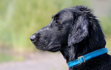 FlatcoatedRetriever-NEQ2019-Rebel
