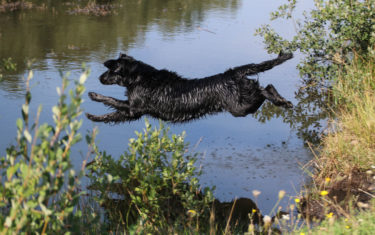 FlatcoatedRetriever-NEQ2019-Rebel-Hunt
