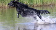 FlatcoatedRetriever-NEQ2019-Rebel-waterjump